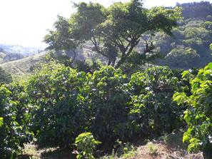 コスタリカ サンタアニタ農園