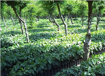 メキシコ チアパス クステペック農園