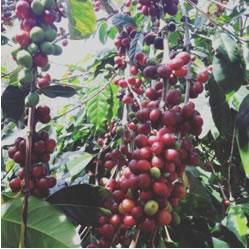 インドネシア ウエストジャバ モジャンガルト農園