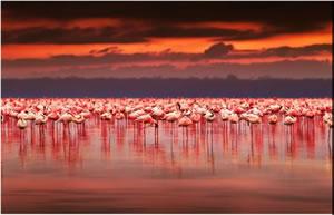 ケニア ピンク・フラミンゴ